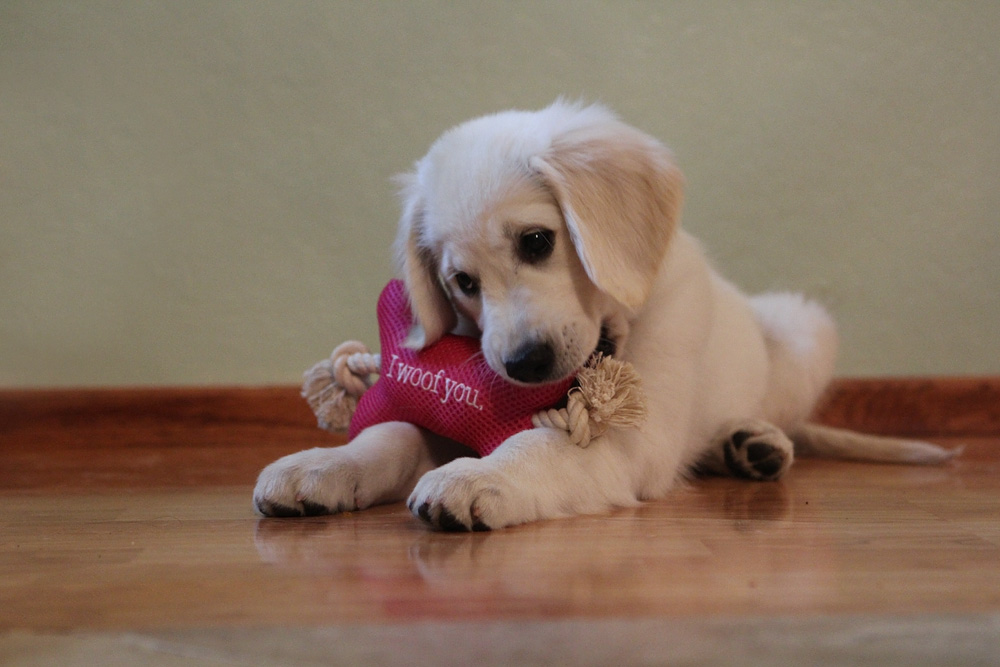 I woof you toy