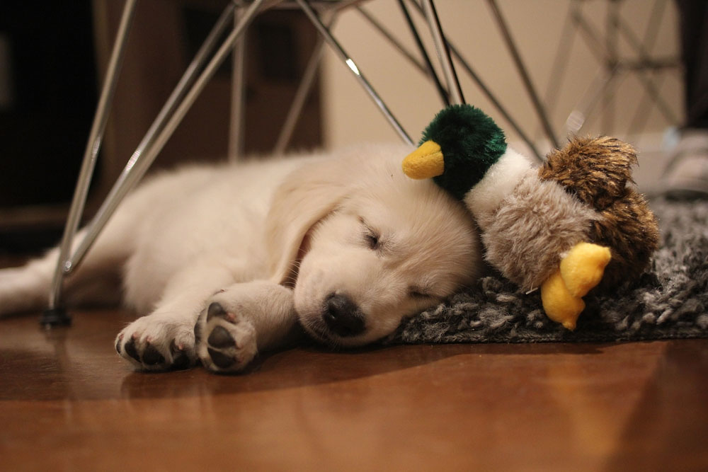 Puppy with baby ducky