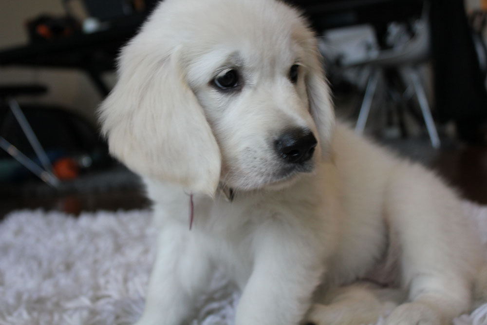 european cream golden retriever