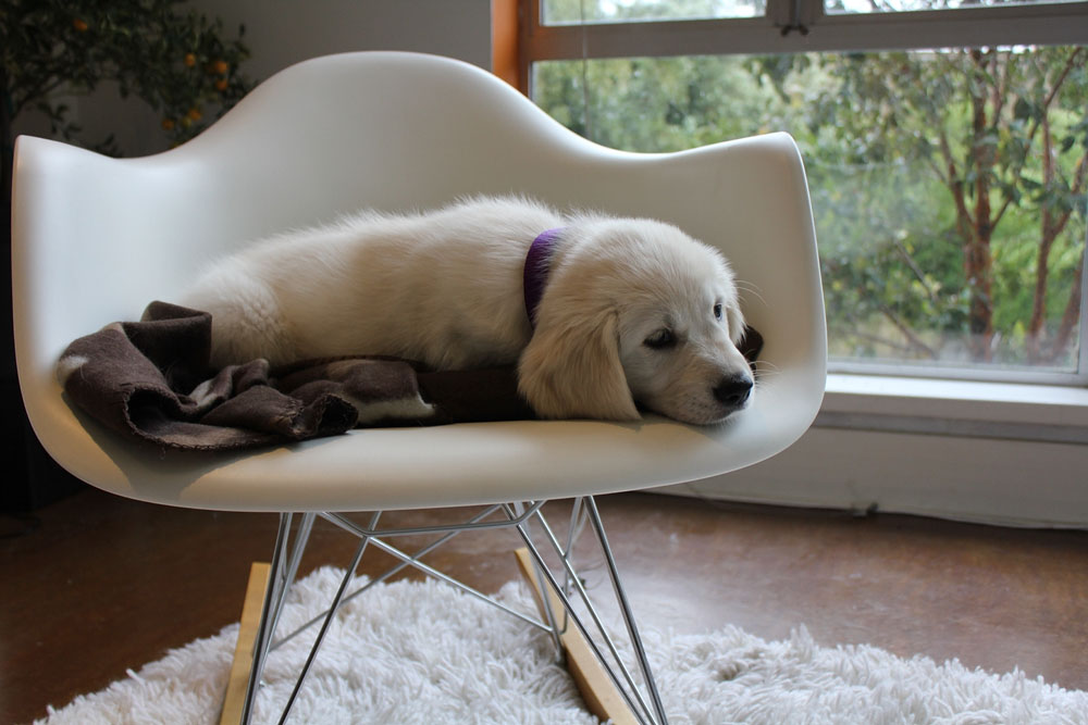 puppy on herman miller rocker