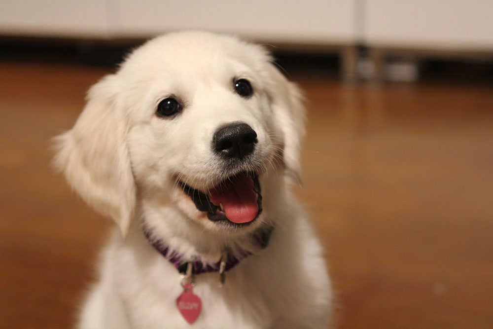 adorable smiling puppy