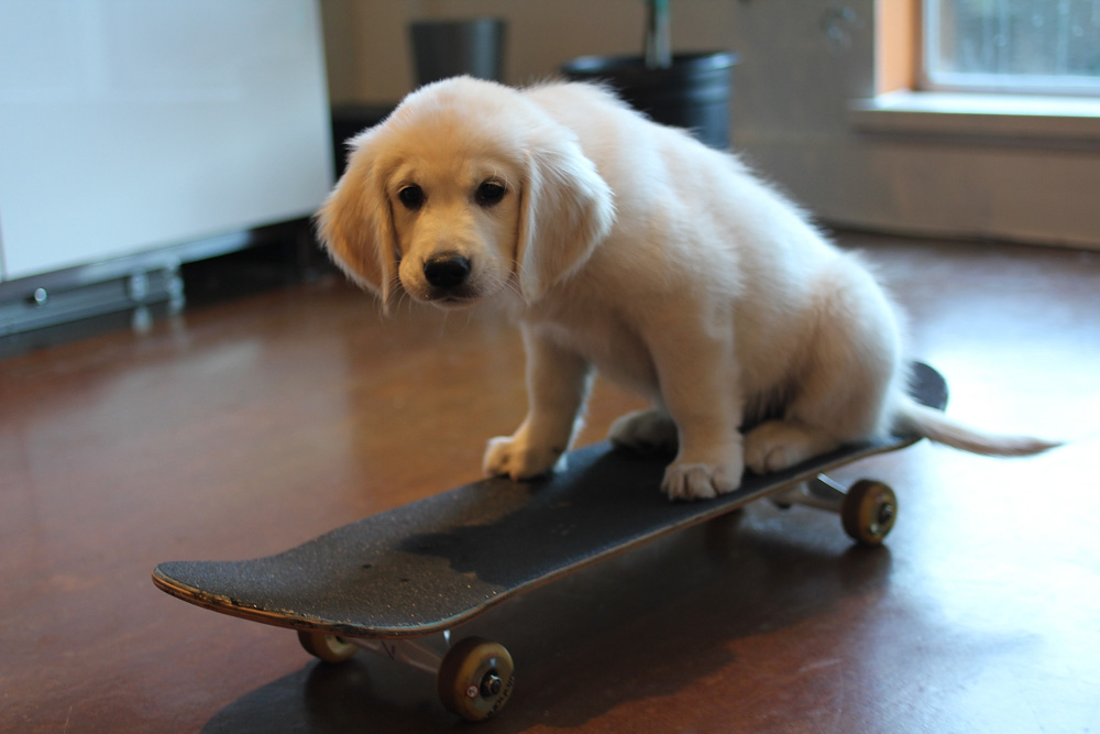 puppy on skateboard