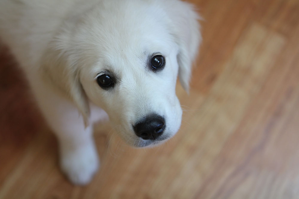 sweetest white golden retriever puppy
