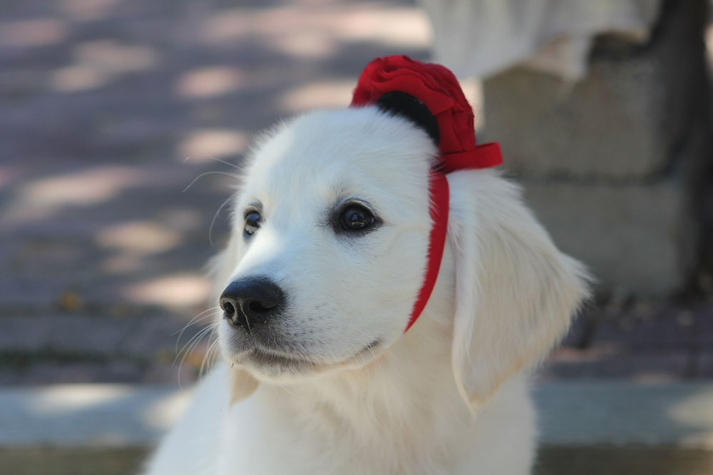 adorable white puppy golden