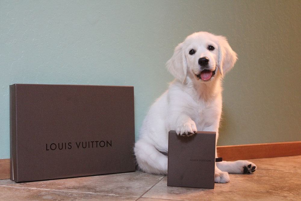 Adorable puppy and Louis Vuitton LV