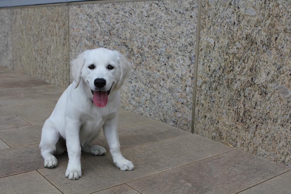 cutest white golden retriever