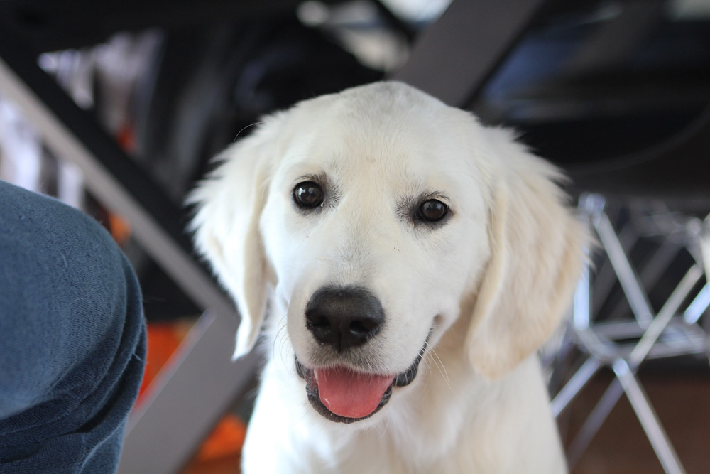 smiling white puppy