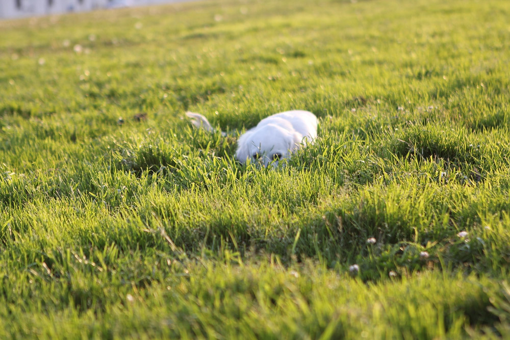 Puppy hiding in grass