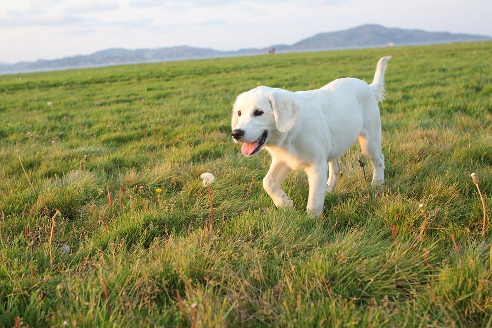 Cute white puppy in the grass field