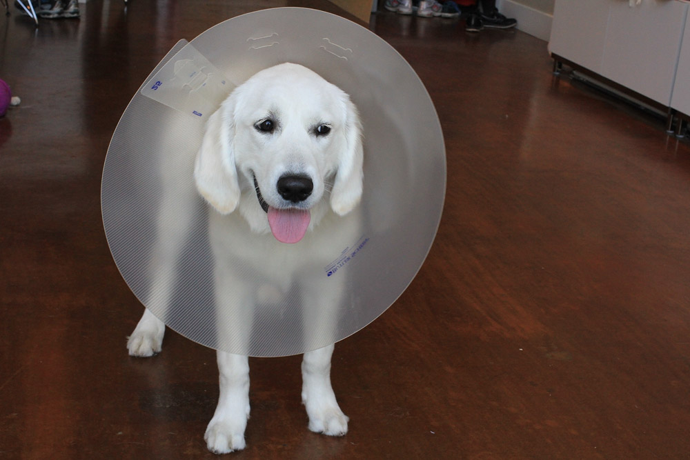 Puppy cone of shame