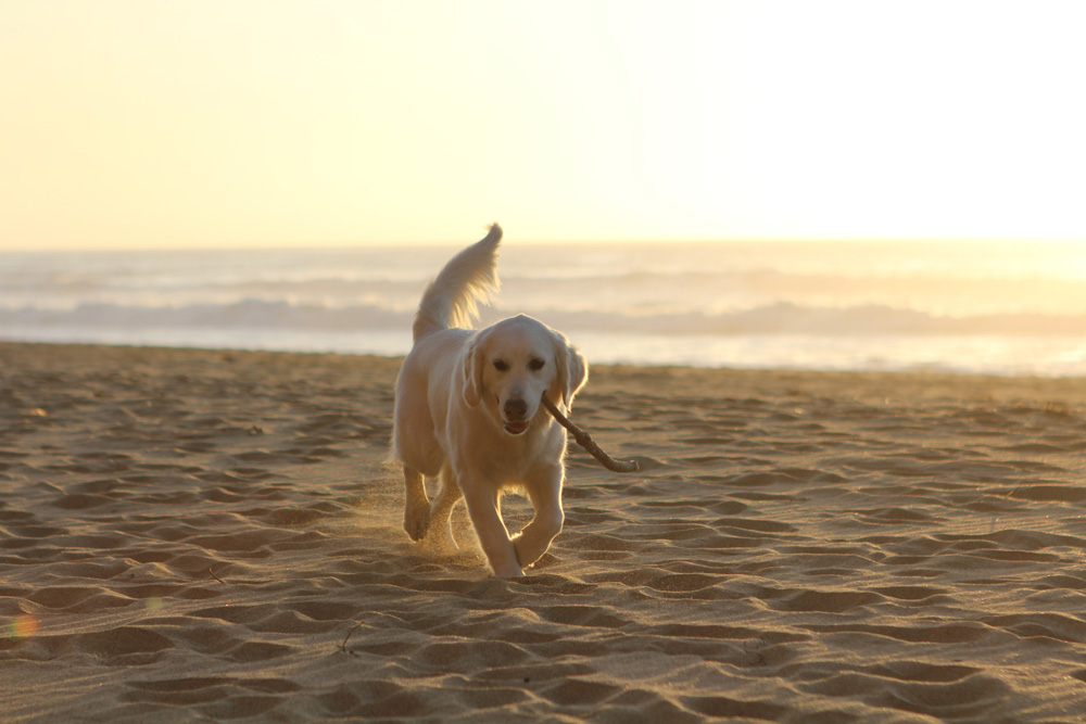 Puppy on the beach sunset