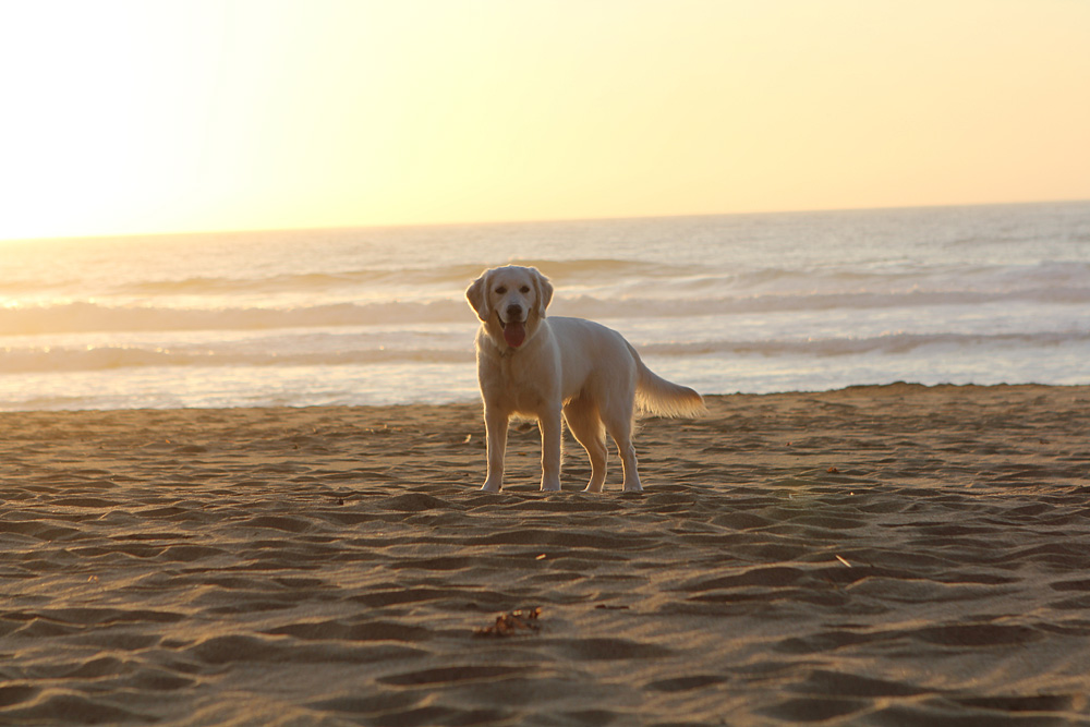 Cute dog on beach at sunset