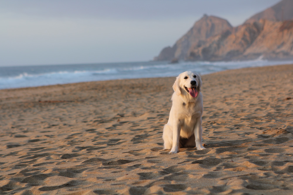 English Golden Retriever California